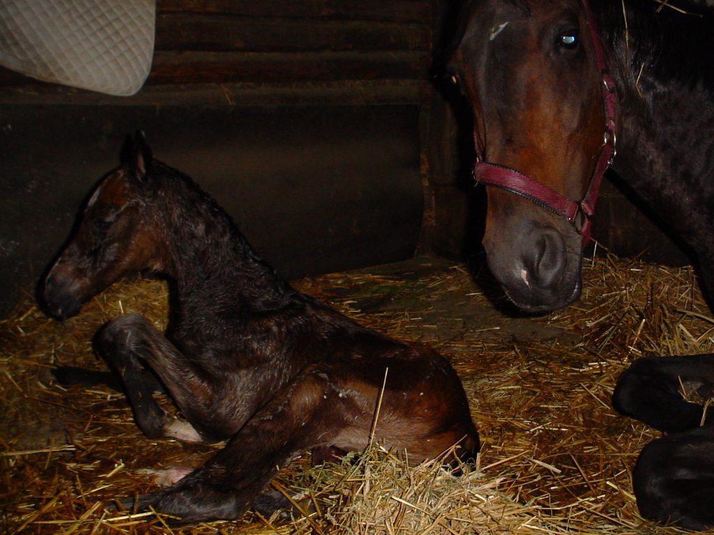 Neugeborenes Fohlen (Frühjahr 2009) nach geringgradiger Zughilfe bei der Geburt